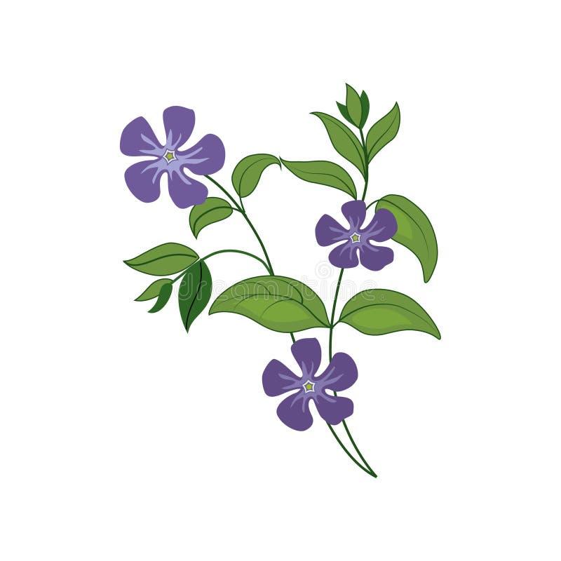 Illustration för lös blomma för vintergröna dragen detaljerad hand stock illustrationer