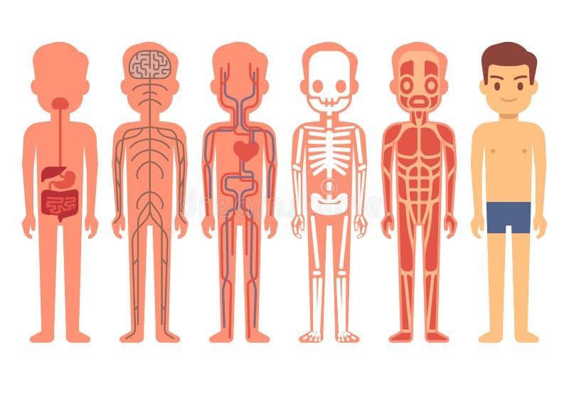 Illustration för människokroppanatomivektor Manliga muskulösa, cirkulations-, nervösa och digestivkexsystem för skelett, stock illustrationer