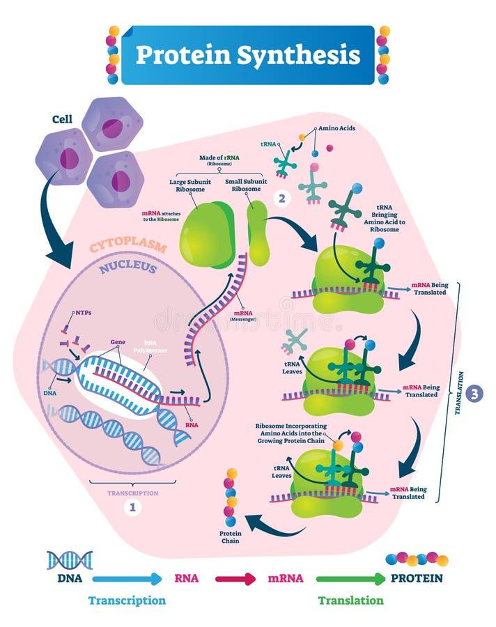 Illustration för proteinsyntesvektor Transkription och översättning vektor illustrationer
