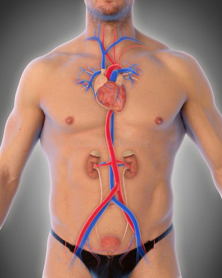 Illustration för thorakal aorta royaltyfri illustrationer
