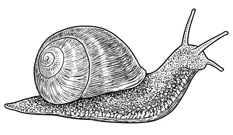 Illustration för trädgårds- snigel, teckning, gravyr, färgpulver, linje konst, vektor vektor illustrationer