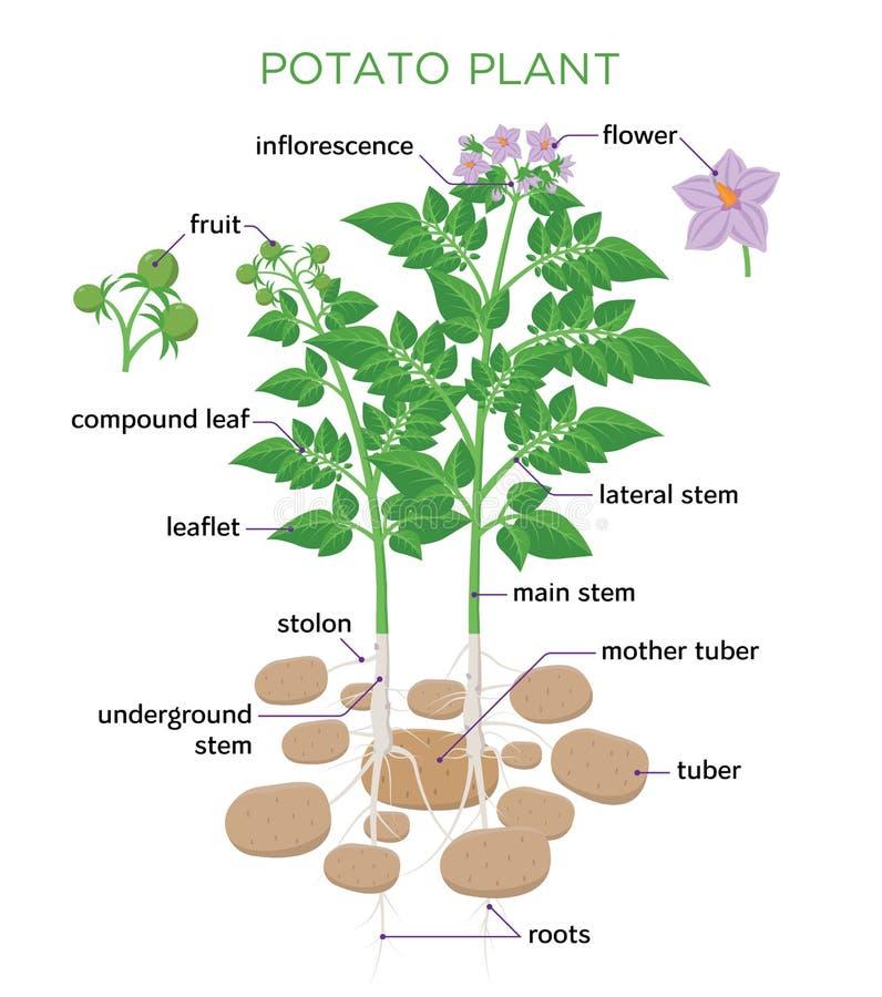 Illustration för vektor för potatisväxt i plan design Potatistillväxtdiagrammet med delar av växten, knölar, stam, rotar, blommor vektor illustrationer