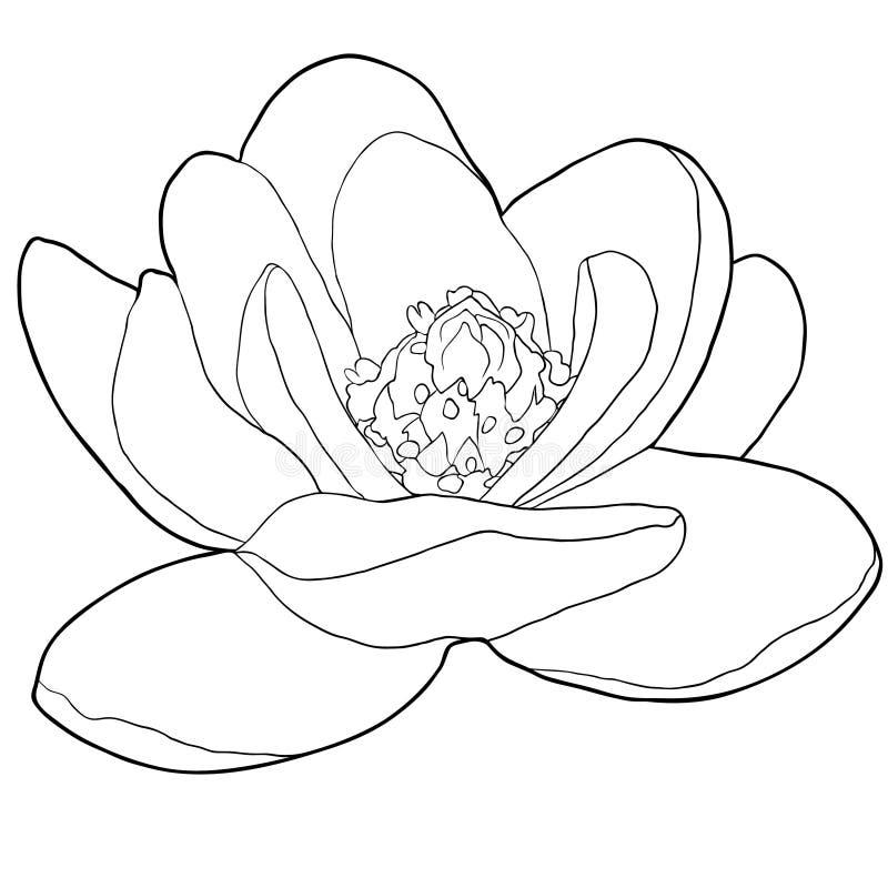 Illustration för vektor för trädgård för färgläggningmagnoliablomma dekorativ vektor illustrationer