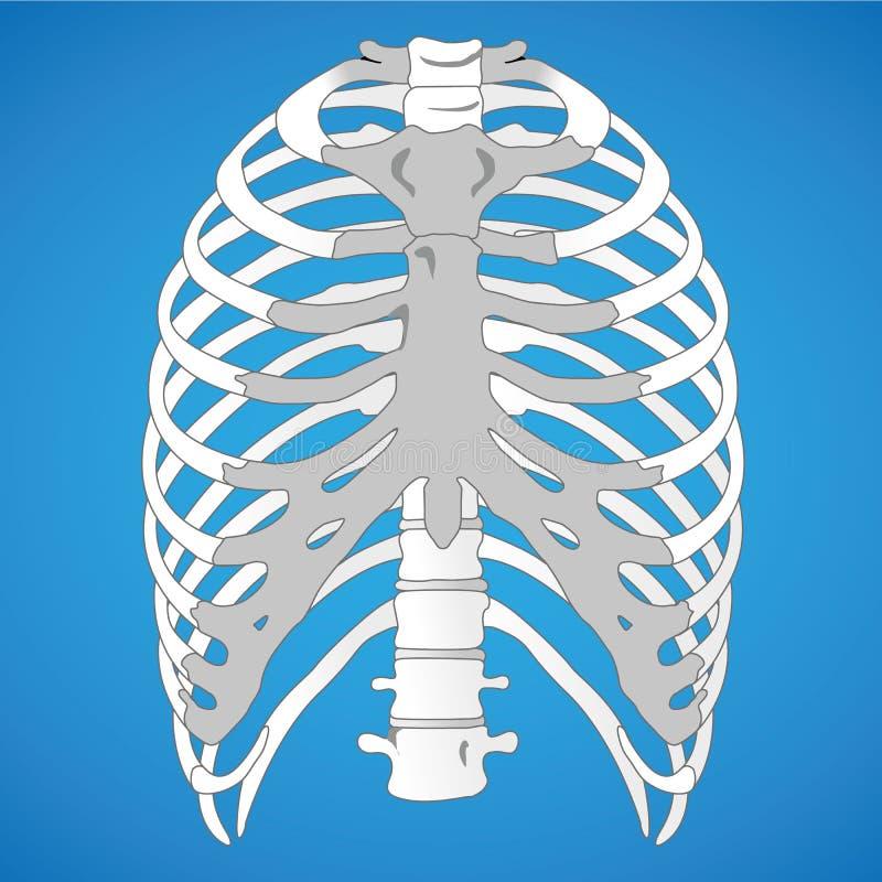 Illustration First Aid, anatomi, mänskliga revben vektor illustrationer