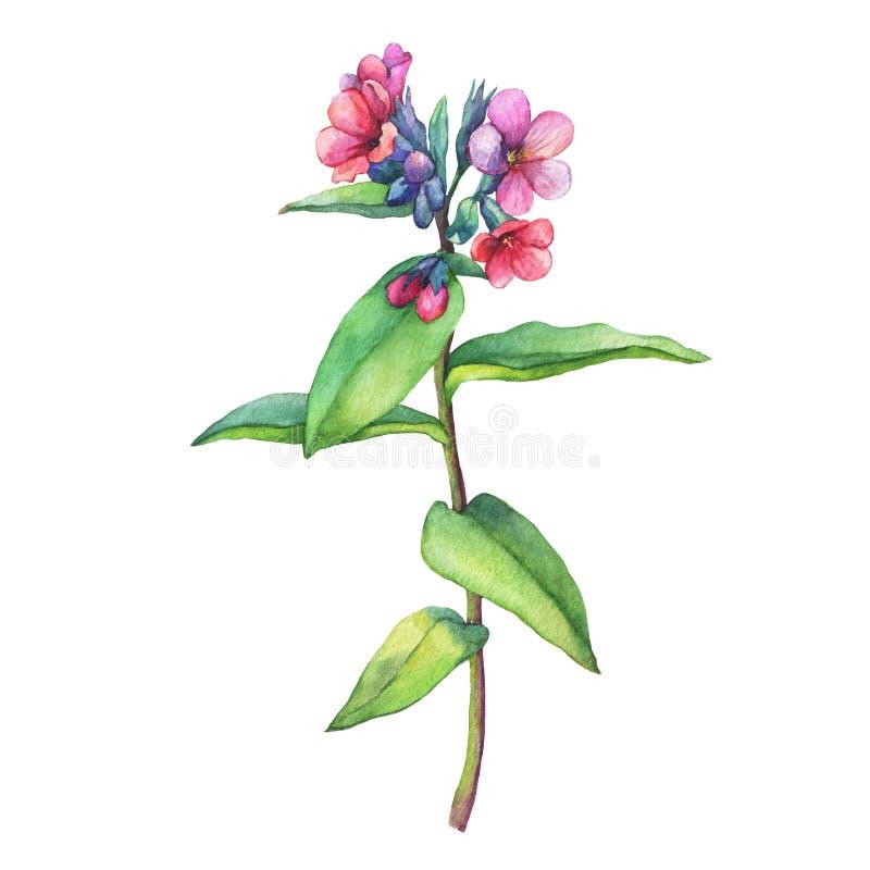 Illustration of first spring wild flowers - Dark lungwort medicinal Pulmonaria officinalis. royalty free illustration