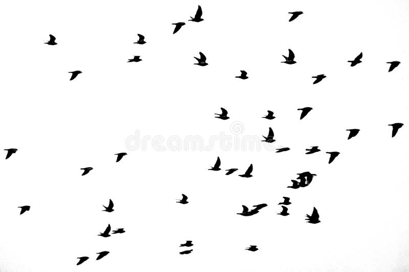 Flock of birds flying through the air royalty free stock photo