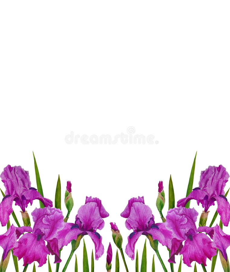 Flowers Irises watercolor spring Botanical design illustration greeting card invitation decoration royalty free stock photography