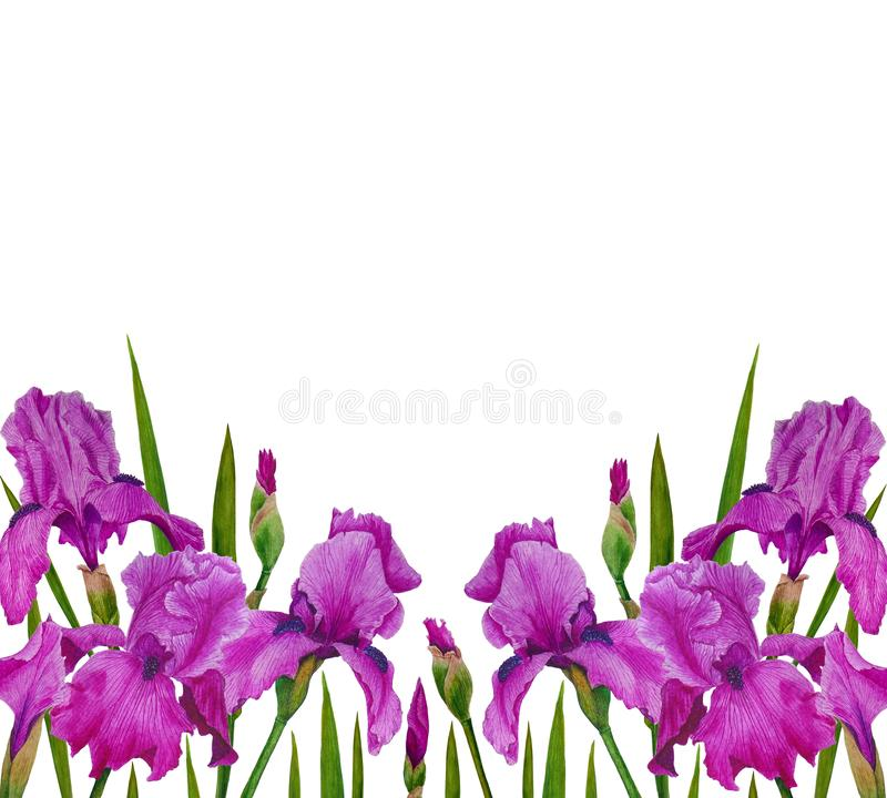 Flowers Irises watercolor spring Botanical design illustration greeting card invitation decoration royalty free stock photos