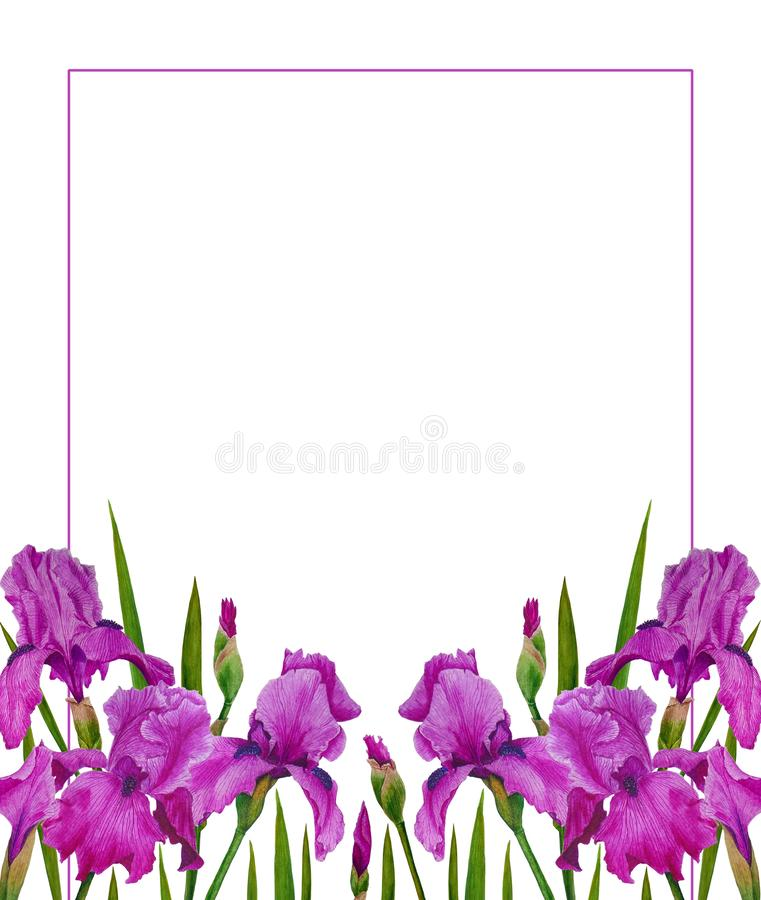 Flowers Irises watercolor spring Botanical design illustration greeting card invitation decoration royalty free stock photo