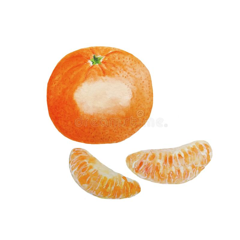Mandarins Fruits Watercolor. Illustration food Mandarins Fruits Watercolor vector illustration