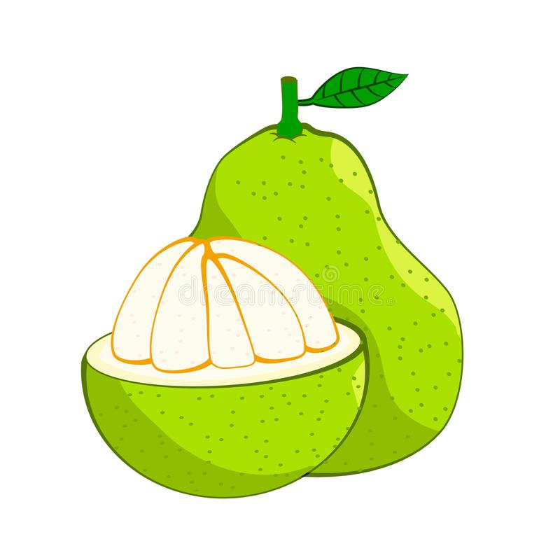 Illustration of fresh Pomelo, Vector Illustration. Illustration of fresh Pomelo, isolated on white background, fresh healthy food, organic natural fruit. Vector vector illustration