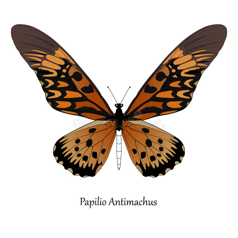 Illustration of Giant African Swallowtail - Papilio antimachus royalty free illustration