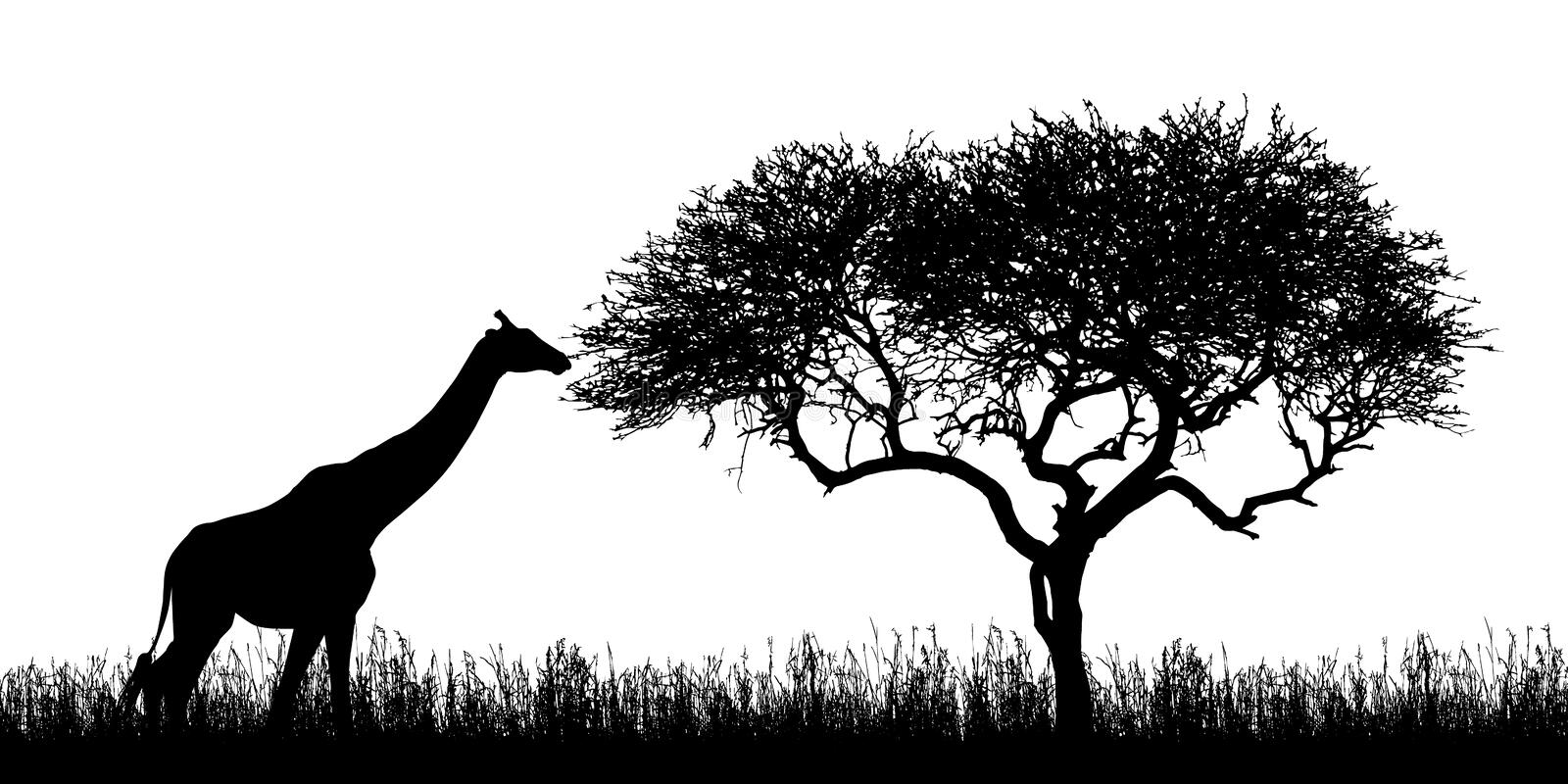 Illustration of giraffe silhouettes and acacia tree with grass in african safari in kenya - isolated on white background, vector stock illustration