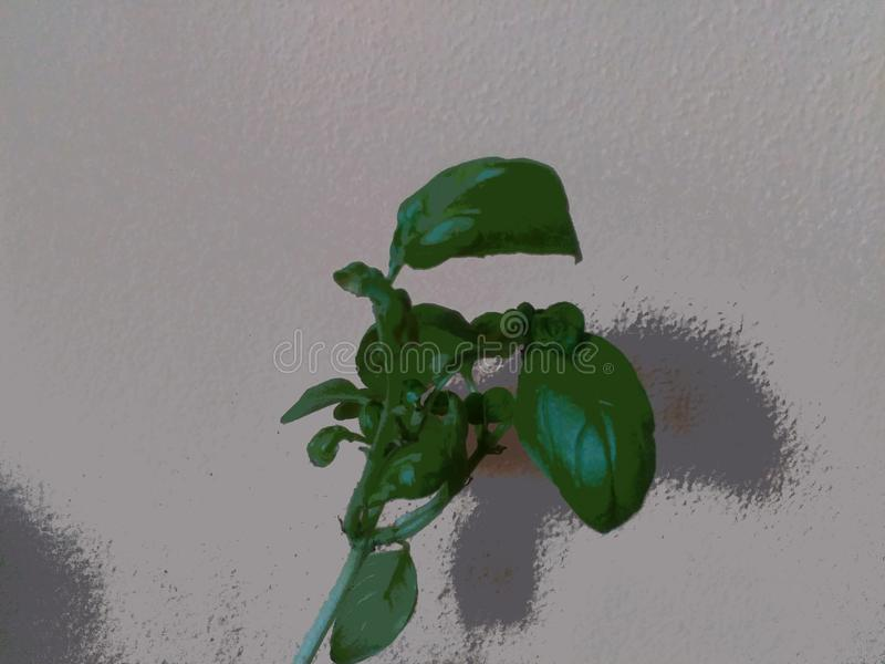 An illustration of the green basil. This image shows the basil. see more shots in my portfolio stock illustration