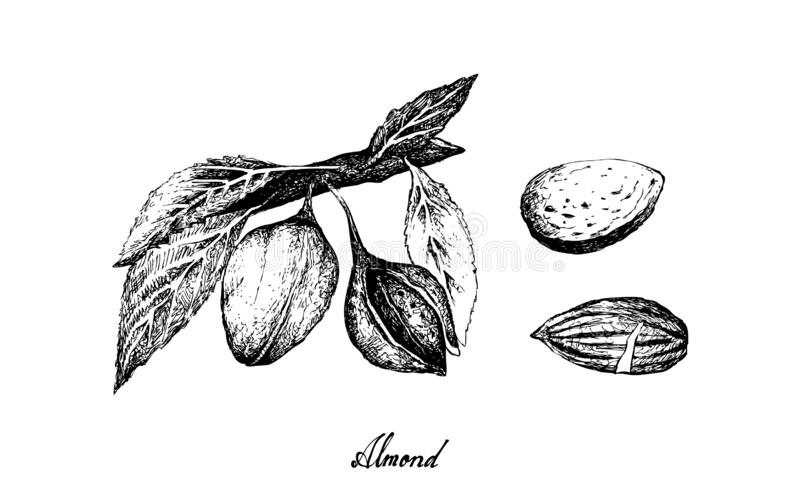 Hand Drawn of Almonds on A Branch. Illustration Hand Drawn Sketch of Almonds on A Tree, Good Source of Dietary Fiber, Vitamins and Minerals royalty free illustration