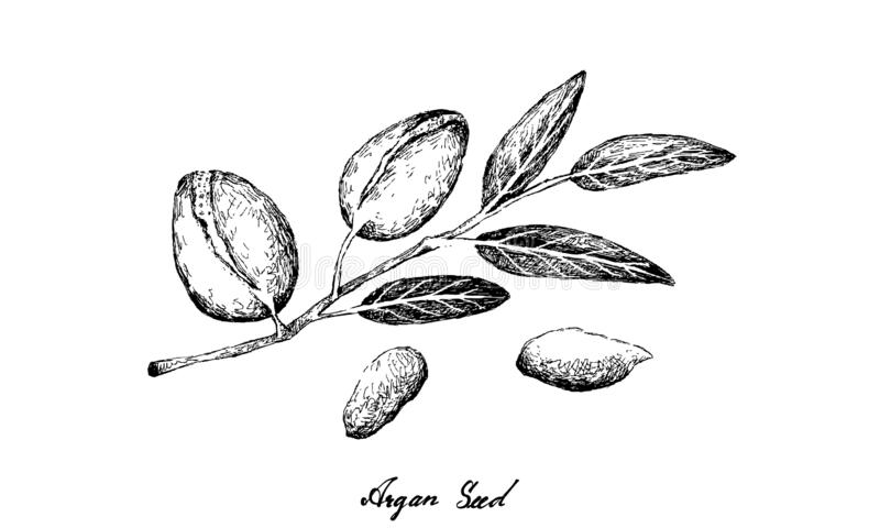 Hand Drawn of Argan Seeds on A Branch. Illustration Hand Drawn Sketch of Argan or Argania Spinosa Seeds on A Tree, Used for Cosmetic Purposes stock illustration