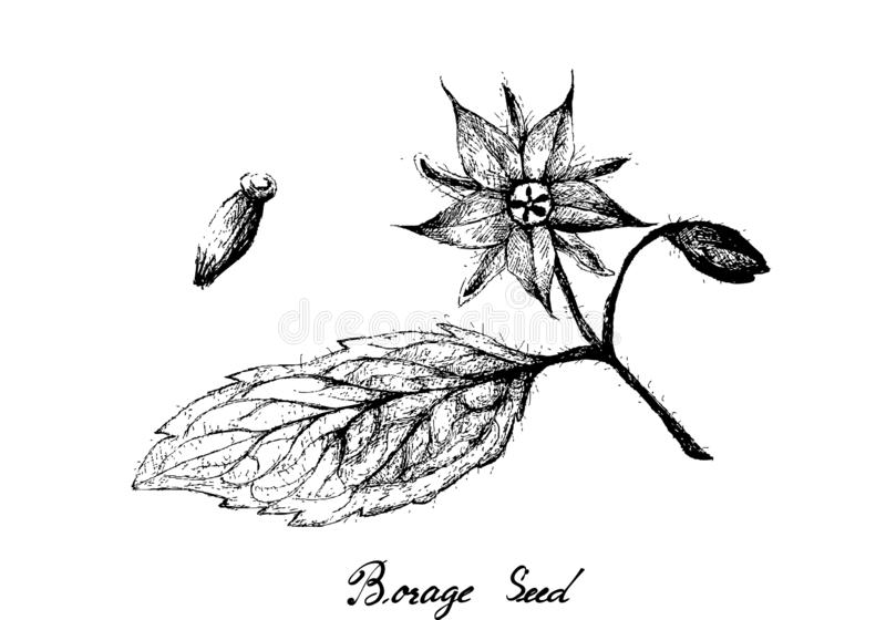 Hand Drawn of Borage Seeds on White Background. Illustration Hand Drawn Sketch of Borage Seeds and Blossoms on A Branch. The Highest Amounts of Y-Linolenic Acid vector illustration