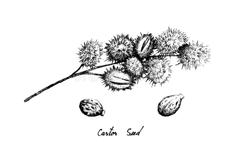 Hand Drawn of Castor Beans on White Background. Illustration Hand Drawn Sketch of Castor Beans or Ricinus Communis. The Highest Amounts of Triglycerides and stock illustration