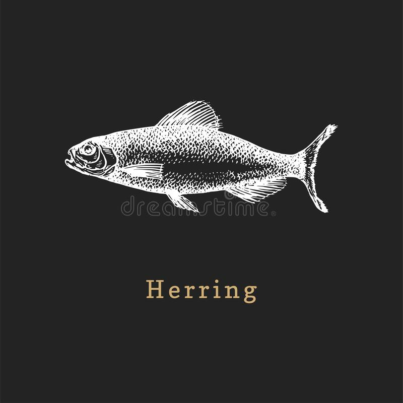 Illustration of herring on black background. Fish sketch in vector. Drawn seafood in engraving style for shop label etc. Illustration of herring on black vector illustration