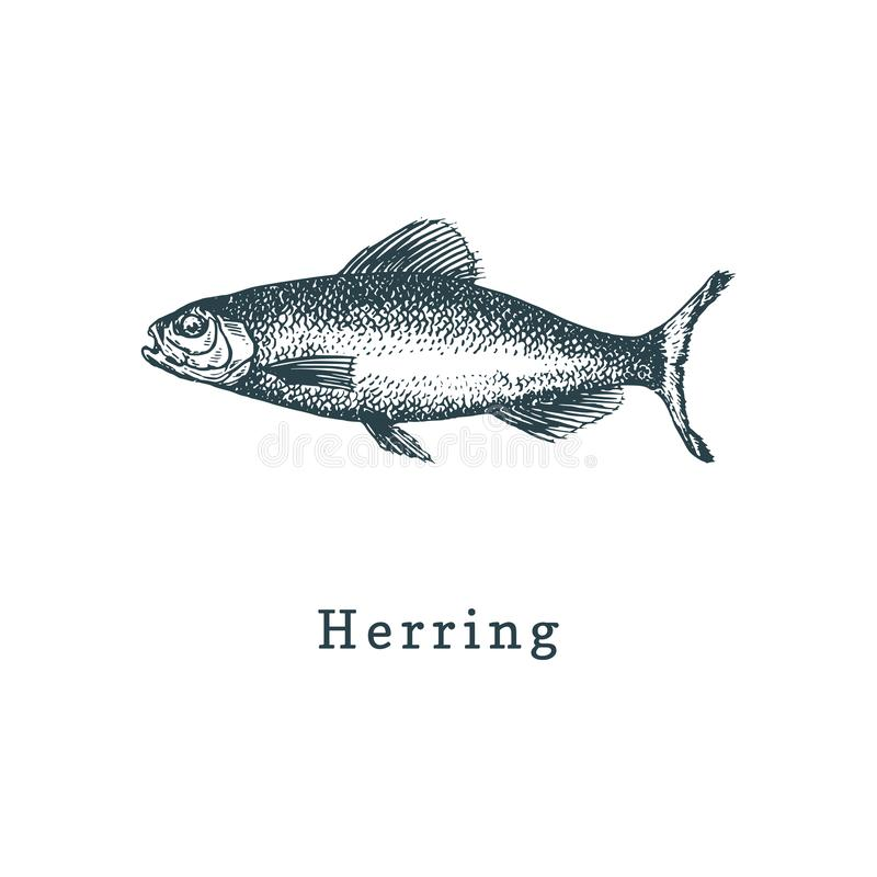 Illustration of herring. Fish sketch in vector. Drawn seafood in engraving style. Used for can sticker, shop label etc. Illustration of herring. Fish sketch in vector illustration