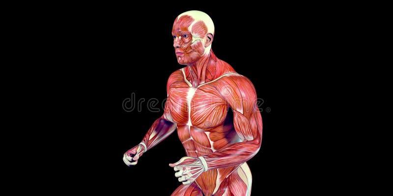 Illustration humaine d'anatomie de corps masculin d'un taqueur humain avec les muscles évidents illustration de vecteur