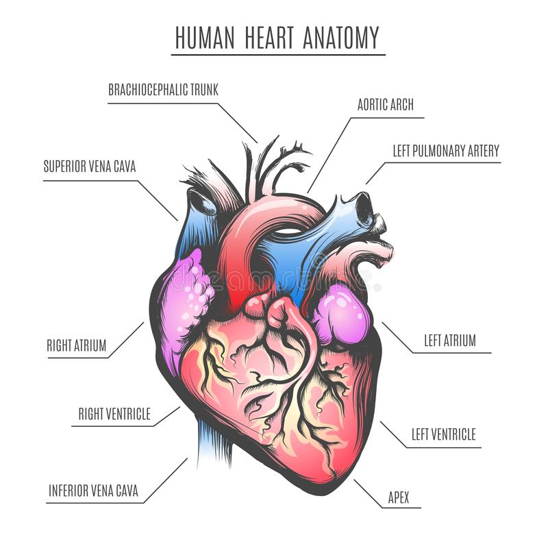 Illustration humaine de vecteur d'anatomie de coeur illustration libre de droits