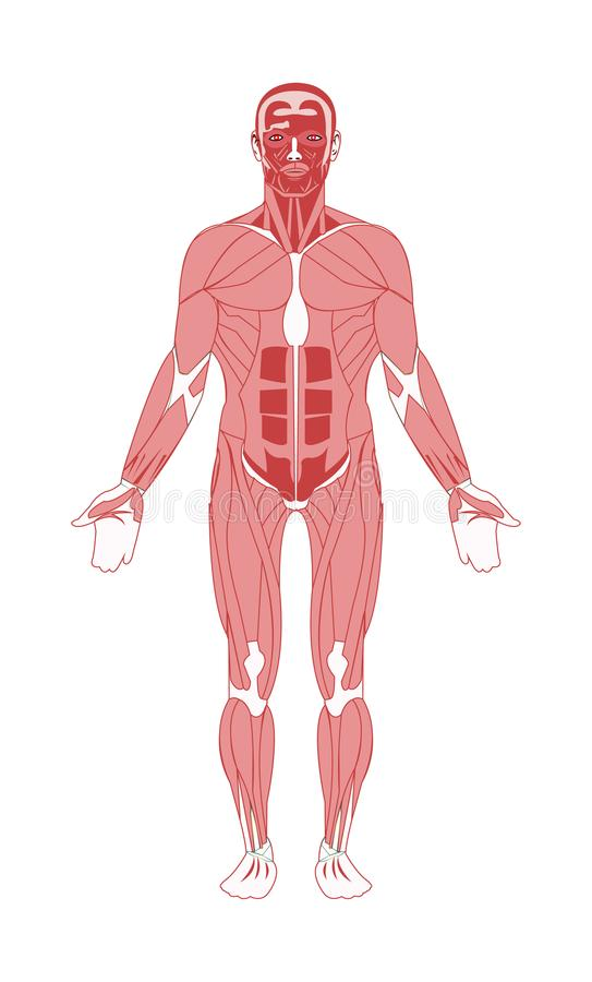 Human male anatomy muscular system vector illustration
