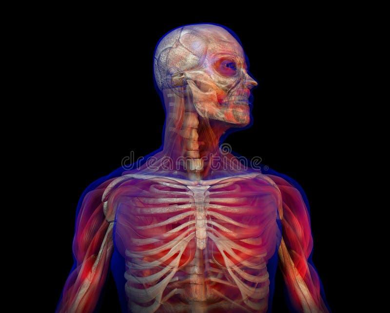 Illustration Of Human Anatomy And Skeleton Stock Illustration