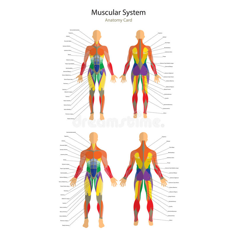 Illustration of human muscles. Female and male body. Gym training. Front and rear view. Muscle man anatomy. stock illustration
