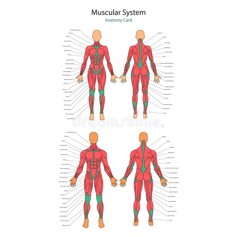 Illustration Of Human Muscles. Female And Male Body. Gym Training ...