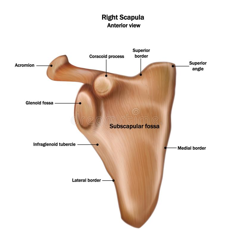 Illustration of the human right scapula bone with the name and description of all sites. Anterior view stock illustration