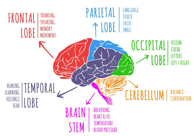 Illustration of human`s brain functions and anatomy. Isolated on white background vector illustration