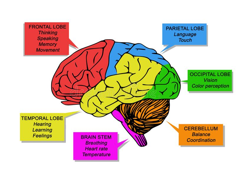 Illustration of human`s brain functions. With specific colored areas on white background vector illustration