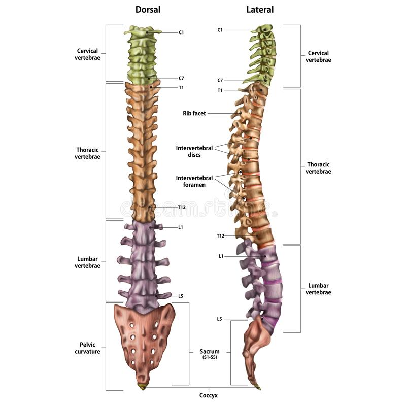 Illustration of the human spine with the name and description of all sites. Lateral and spinal views royalty free illustration