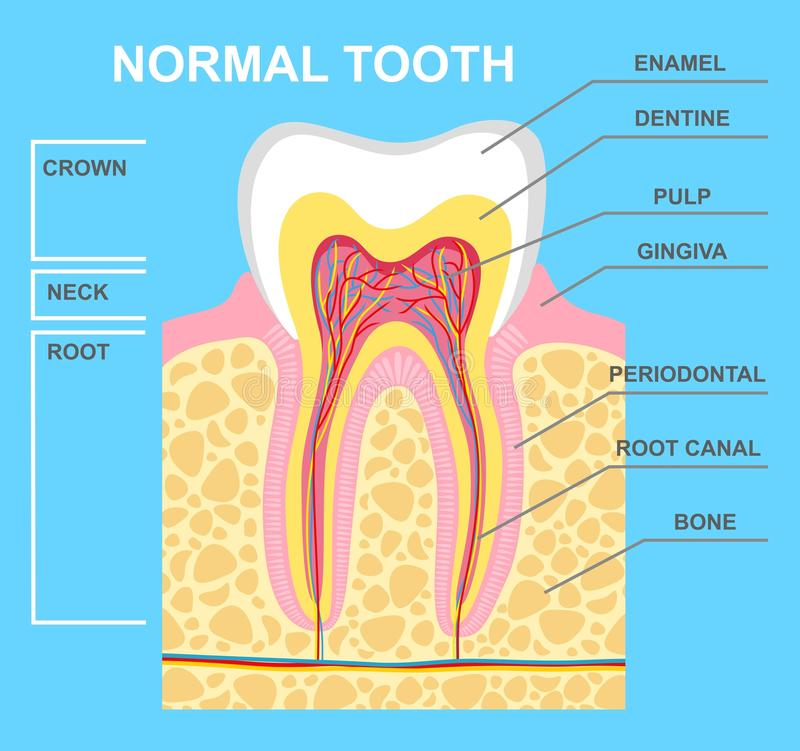 Illustration of human tooth diagram. Tooth structure vector illustration.  royalty free illustration