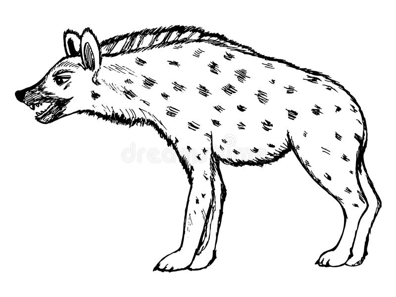 Illustration of hyena, wildlife, nature, animal. Sketch hand drawn illustration of hyena, wildlife series vector illustration