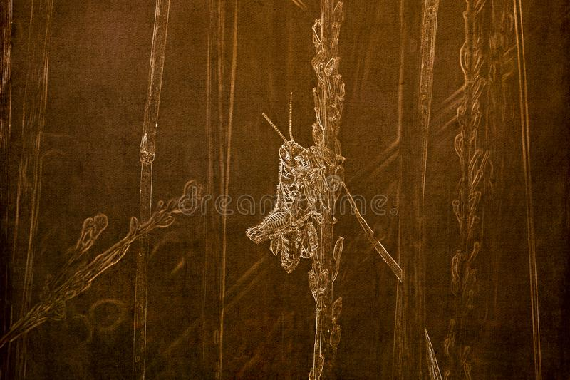 Illustration i Sepia av en makro av enlagd benen på ryggen gräshoppaMelanoplusfemurrubrum som hänger på ett grässtrå royaltyfri foto