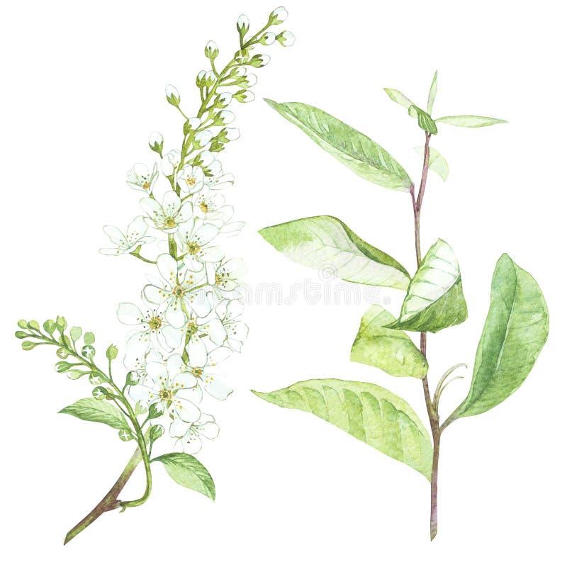 Illustration im Aquarell der Vogel-Kirschbaumblume Blumenkarte mit Blumen Botanische Illustration stock abbildung