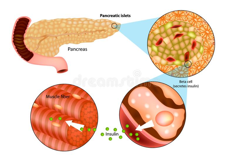 Illustration of insulin production in the pancrea royalty free illustration