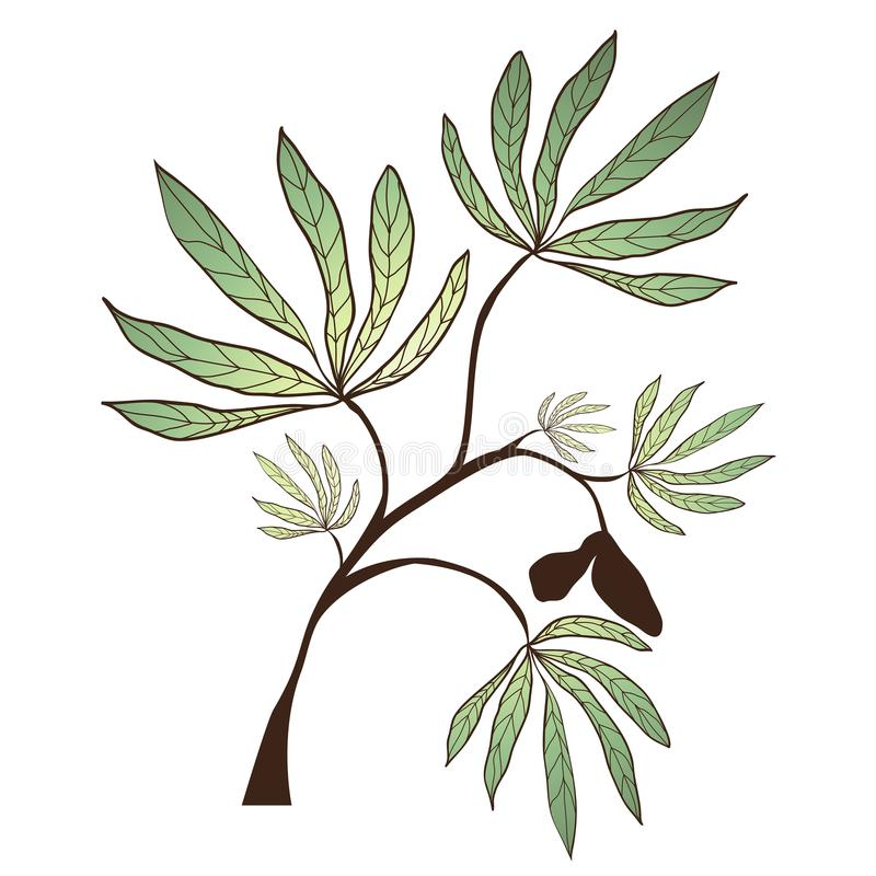 Kapok Tree Branch. Illustration of the Kapok Tree Branch Over White vector illustration