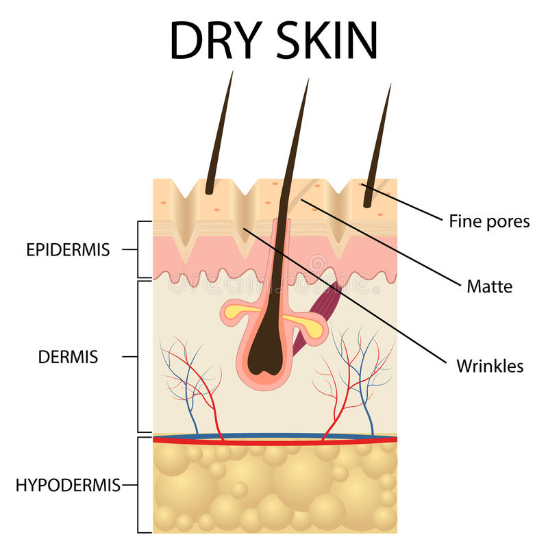 Illustration of The layers of dry skin. On the white background royalty free illustration