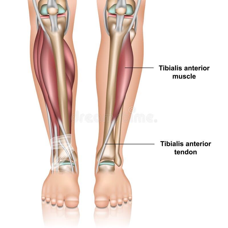 Illustration médicale antérieure de vecteur du muscle 3d de Tibialis sur le fond blanc illustration libre de droits