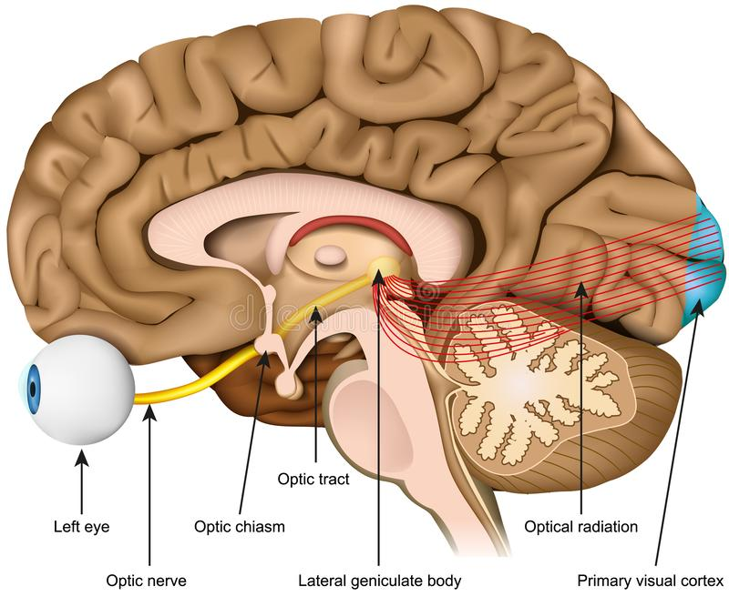 Illustration médicale de vecteur de nerf optique et de région optique d'isolement sur le fond blanc illustration de vecteur