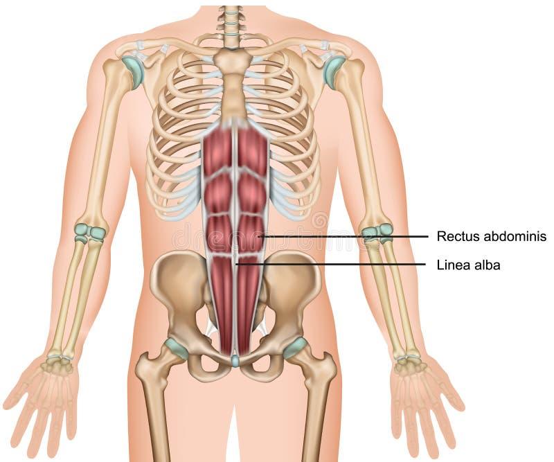 Illustration médicale du muscle 3d d'abdominis de Rectus illustration libre de droits