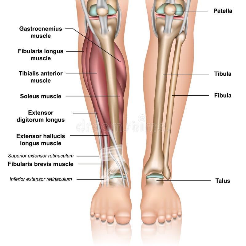 Illustration médicale inférieure de vecteur de l'anatomie 3d de jambe sur le fond blanc illustration libre de droits