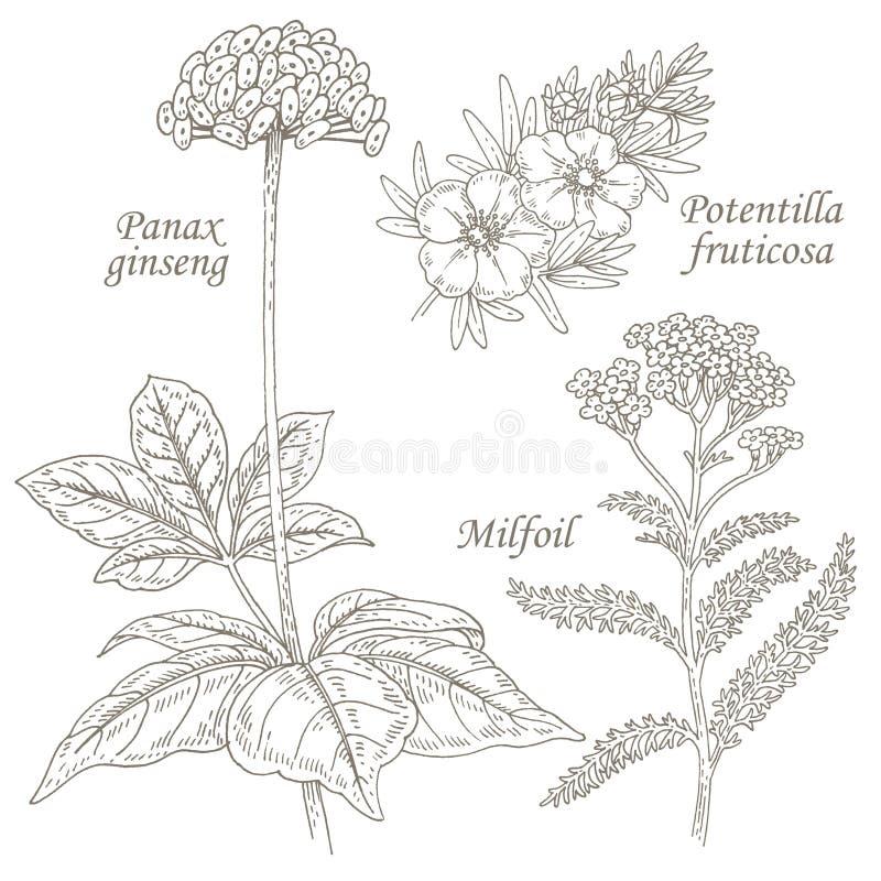 Illustration of medical herbs ginseng, potentilla, milfoil. stock illustration