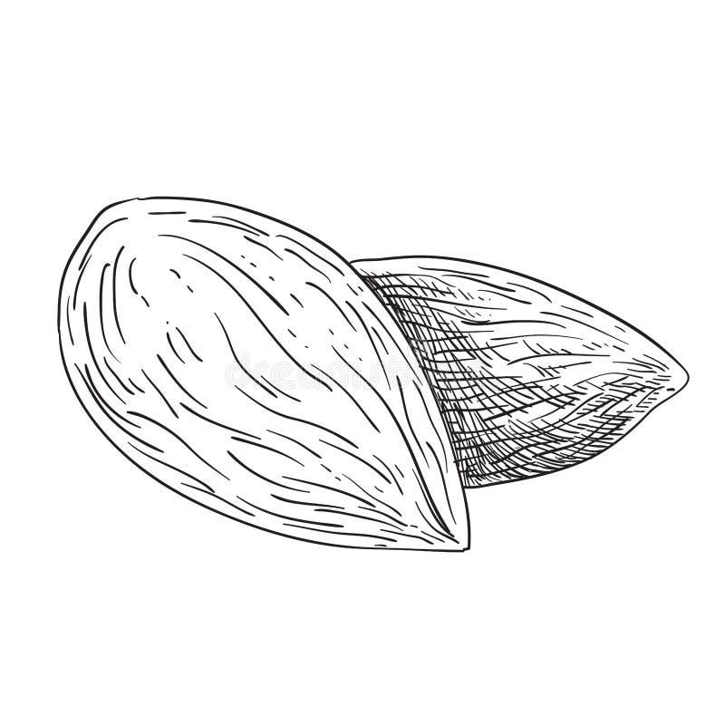 Illustration mit 2 Mandeln - Schwarzweiss lizenzfreie abbildung