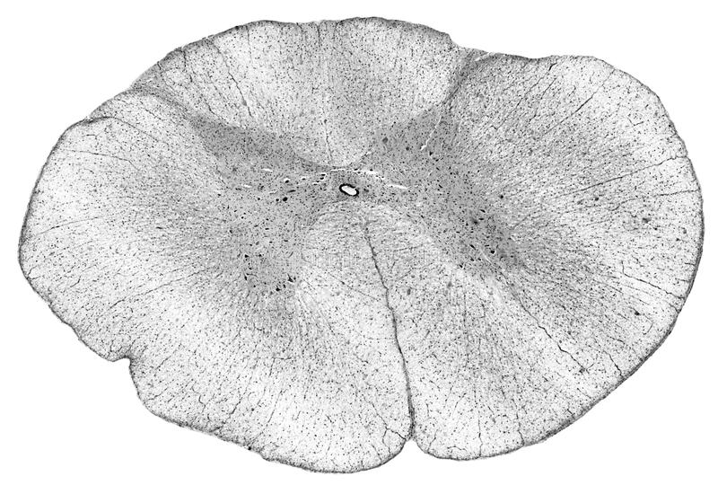 Illustration : Moelle épinière - section transversale illustration stock