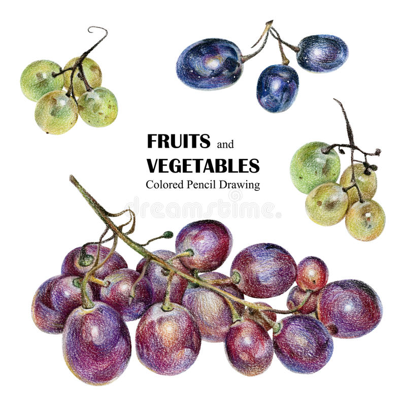 Download Illustration With Multicolored Grapes Drawn By Hand Colored Pencil Stock