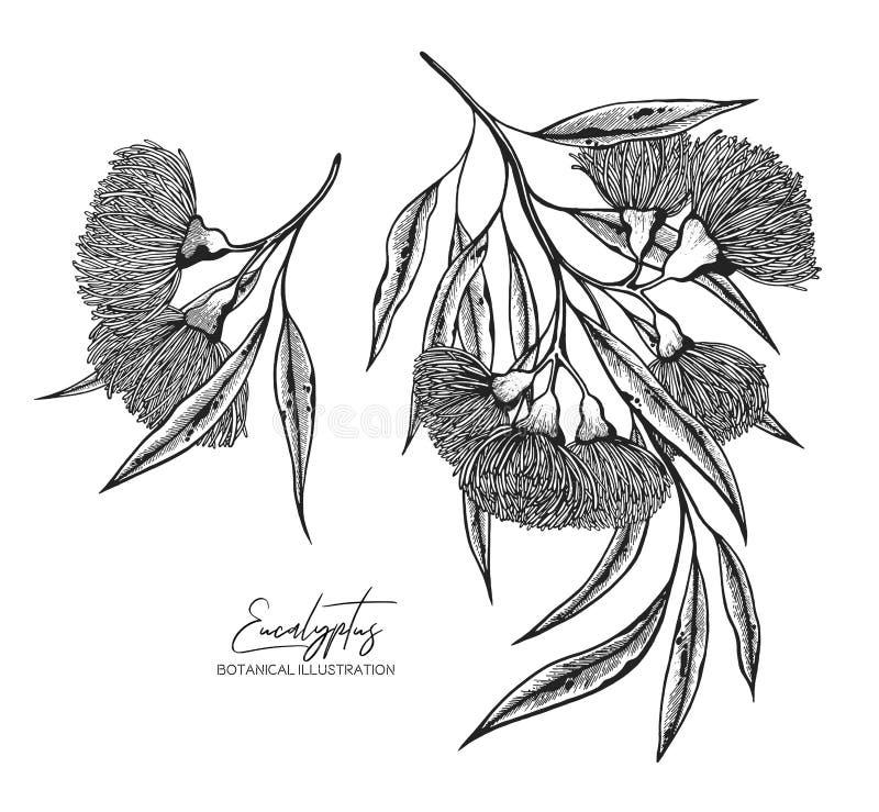 Illustration noire et blanche de croquis de vecteur d'eucalyptus Éléments de conception pour épouser des invitations, cartes de v illustration de vecteur